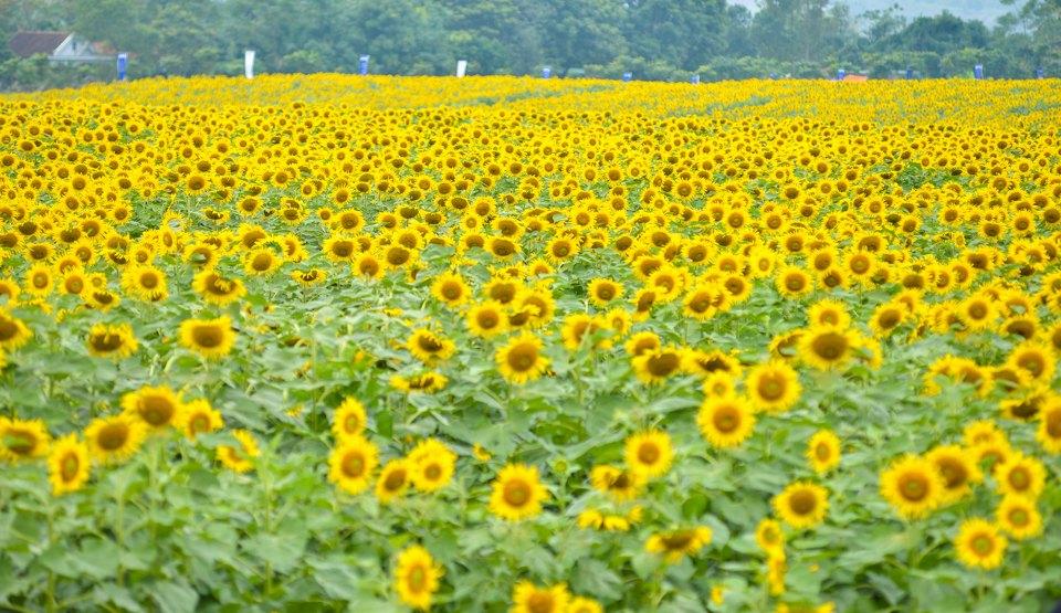 Vườn hoa Hướng Dương Đà Lạt-1